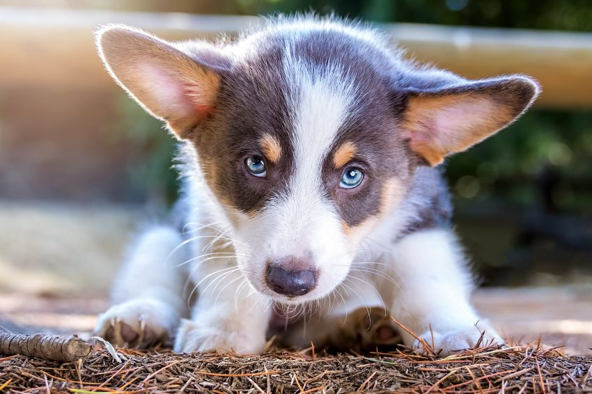 Corgi puppy in Franklin Canyon Los Angeles